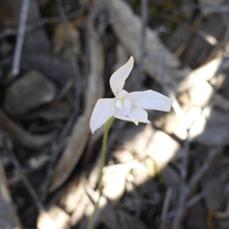 White Caladenia